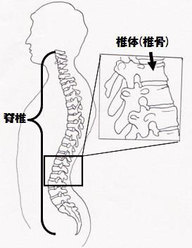 脊椎 図1